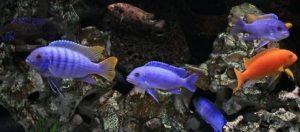 Аквариумная рыба озера Малави; Цихлиды озера Малави