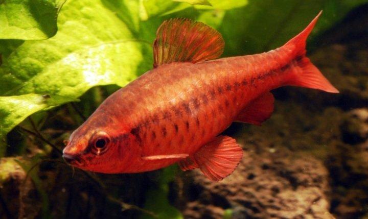 фото рыбки барбусов вишневых