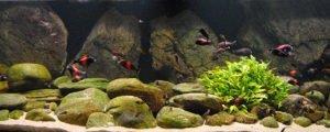 Аквариумная рыба озера Танганьика; Цихлиды озера Танганьика