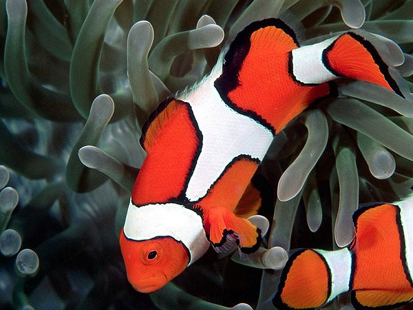 Amphiprion percula, Клоун перкула