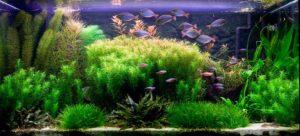 Аквариумная рыба для травников; аквариумная рыбка для аквариумов с живыми растениями